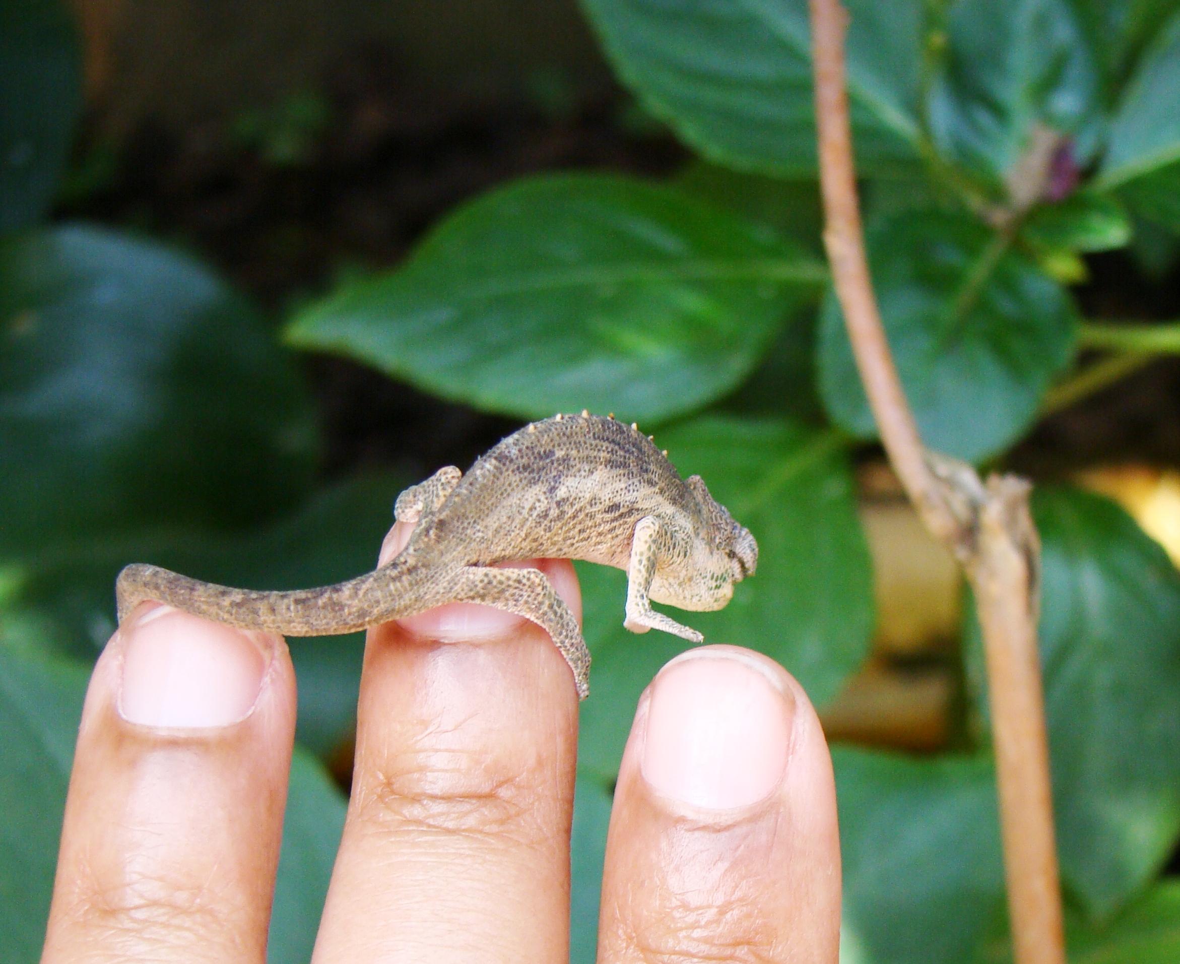 Un des plus petits caméléons de Madagascar