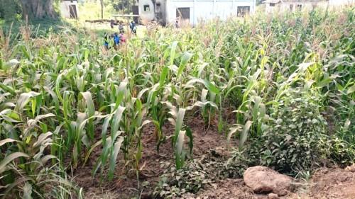 Champ de maïs de Mr et Mme Mwasi, agriculteurs travaillant avec ICIPE/CHIESA