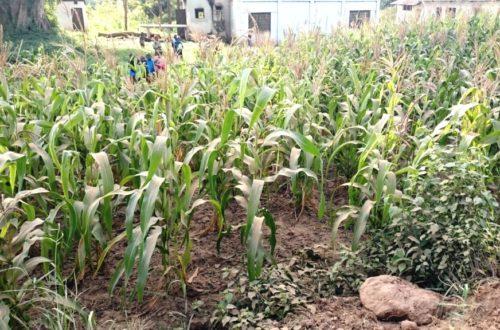 Article : Agriculture au Kenya : Lutte biologique contre les insectes nuisibles