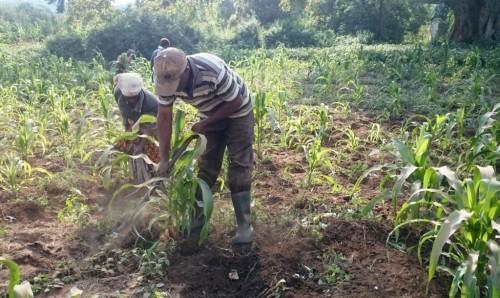 Mr et Mme Mwasi travaillant leur champ de maïs